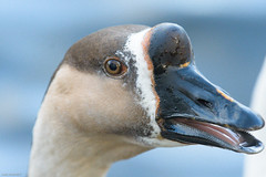 In Yer Face! (peely03) Tags: daisynookcountrypark crossbreedgoose closeup outdoors character wildlife crimelake failsworth funny