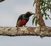 IMG_7555 (jaglazier) Tags: 121717 2017 animals birds capok copyright2017jamesaglazier december deciduoustrees ecuador napowildlifepreserve naturepreserves orellana trees parks orellanaprovince