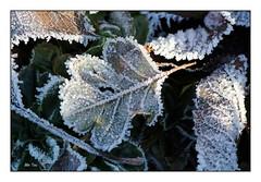 (bibitou) Tags: givre feuille hiver jardin