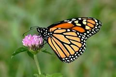 Monarch Butterfly 413 - Danaus Plexippus (Chrisser) Tags: insects insect butterflies butterfly monarch danausplexippus nature ontario canada canoneosrebelt6i canonef75300mmf456iiiusmlens nymphalidae