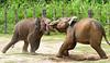 Young Asian Elephants (Colorado Sands) Tags: elephant animal asianelephants gajahasia elephasmaximus asia sandraleidholdt southeastasia borneo sabah malaysia lokkawi lokkawiwildlifepark fence youngelephants hff