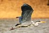 heron in flight (stellagrimsdale) Tags: heron heroninflight feathers wings beak beautiful orange bird fantastic nature