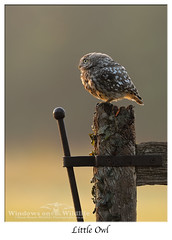 Little Owl catching the sunrise... (deanmasonwp) Tags: wild wildlife nature photo photography bird birds owl owls raptor little sun sunrise gate field morning early dean mason windows dorset nikon