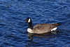 Cruising the blue waters (crowt59) Tags: cruising duck blue waters lake petit jean state park arkansas crowt59 nikon d810 tamron 70200mm nikonflickraward