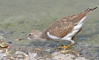 COMMON SANDPIPER ....Carmarthen.
