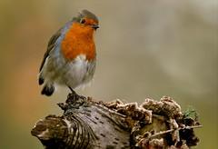Rob (davy ren2) Tags: photography nature d500 nikon robin woodland