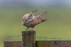 R17_4436 (ronald groenendijk) Tags: cronaldgroenendijk 2017 falcotinnunculus rgflickrrg animal bird birds birdsofprey groenendijk holland kestrel nature natuur natuurfotografie netherlands outdoor ronaldgroenendijk roofvogels torenvalk vogel vogels wildlife