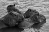 Capivara (Hydrochoerus hydrochoeris) (Luiz Henrique Foto) Tags: luizhenriquephoto ©luizhenriquerocharodrigues todososdireitosreservados estadodesãopaulo lago bragançapaulistasp animal luizhenriquefotografia luizhenriquefoto água ©lalabradshaw lagodotaboão roedor wwwluizhenriquefotocombr horizontal fauna desenhandoaluz capivara mamífero agua allrightsreserved animalia bragança bragançapaulista capybara caviidae chordata hydrochoerinae hydrochoerus hydrochoerushydrochaeris hystricomorpha lake mammal mammalia rodent rodentia sp sãopaulo water brasil br