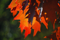 There is still blood in her veins (Liwesta) Tags: leaves autumn tree red veins leaf