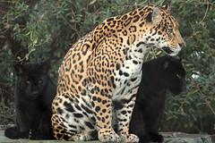 Jaguar Rica and cubs Artis BB2A2264 (j.a.kok) Tags: jaguar jaguarcub jaguarwelp blackjaguar zwartejaguar artis rica animal zoogdier zuidamerika southamerica mammal predator kat cat