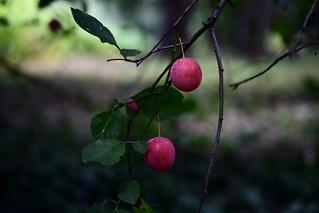Red plums Червени джанки DSC_0773