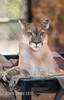 The Sass King of Tyler Texas (montusurf) Tags: sass zoosofnorthamerica cougar puma mountain lion cat feline predator portrait face expression tiger creek animal sanctuary tyler texas tin cup