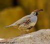 Gambel's Quail (orencobirder) Tags: birds quail flickrexport largebirds