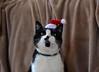 A cat's wish for Xmas... (Maria Godfrida) Tags: 7dwf fauna animals cats pets christmas xmas santahat