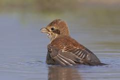 Averla piccola al bagno (Ricky_71) Tags: redbacked shrike lanius collurio summer water