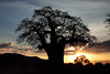 Baobab couchant (Chamaloote & Fabrizio) Tags: tanzanie baobab arbre nature couchédesoleil soleil ombre