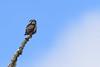 Watchtower (jrlarson67) Tags: northern hawk owl nho bird raptor nikon d810 minnesota wildlife sax zim bog