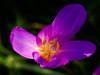 (Nikola Ostrun) Tags: flower nature naturallight outdoor closeup color light yellow pink purple