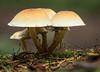 Schutzschirme (dr.klaustrumm) Tags: wald pilze schwefelköpfe baum moos herbst spinnen focus stacking