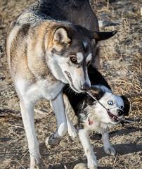 Chinook & Bella (DGC Photography.ca) Tags: dogs dogpark sticks stick bigdoglittledog australianshepherdmini huskycross husky mixedbreeddog collie flatcoatedretriever winter snow dougcallow calgary alberta canada