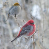 Pine Grosbeaks (annkelliott) Tags: alberta canada swofcalgary sheepriverchristmasbirdcount2017 nature wildlife ornithology avian bird pinegrosbeak pinicolaenucleator finchfamily winterfinch male female sideview perched tree branch bokeh outdoor winter 27december2017 fz200 fz2004 p1280063 annkelliott anneelliott ©anneelliott2017 ©allrightsreserved