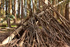 """Wood Line"" (1) (Ian E. Abbott) Tags: andrewgoldsworthy andygoldsworthy goldsworthy woodline eucalyptus treetrunks treebranches wood thepresidio thepresidioofsanfrancisco loverslane forsitefoundation sanfrancisco publicart artinstallation outdoorart art"