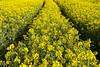 Trail in coleseed (Jan van der Wolf) Tags: map154151ve koolzaad flowers yellow geel trail rapeseed coleseed