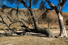 Elizabeth Lake Tree  (Explore 12/27) (Joe Lach) Tags: elizabethlake trees abandonedpark picnictables hills yellow blue green brown sky sierrapelonamountains leonavalley losangeles california joelach