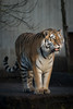 Waiting for Lunch (virtualwayfarer) Tags: copenhagen kbh kobenhavn zoo zoologicalpark touristattraction animals visitcopenhagen visitdenmark danishattractions tiger bigcat asiantiger bigcats stripes stripedcat conservation endangered alexberger nordic scandinavia sonyalpha a7rii lenstest winter lateautumn latefall