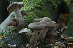 Bulskampveld - Beernem - Belgie (wietsej) Tags: bulskampveld beernem belgie paddestoel mushroom fungus nature rx10 rx10m4 iv sony rx10iv
