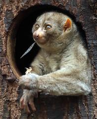 potto artis BB2A9512 (j.a.kok) Tags: potto zuidamerika southamerica animal artis nocturnal mammal zoogdier dier