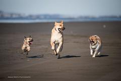 Dogs at beach (namra38) Tags: armanwerthphotography dogs longbeach washington