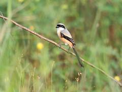 20171208-EM129940 (shutterblades) Tags: birds longtailedshrike olympusem1mkii olympusmzuiko300mmf4pro14tc seletaraerospacepark seletarwestlink