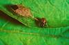 An adult spined soldier bug feeding on a Colorado potato beetle larva. Note the dark line where the wing tips overlap. (The NYSIPM Image Gallery) Tags: cornell cals cornelluniversity nysaes newyork ipm nysipm integratedpestmanagement cce cornellcooperativeextension vegetableipm vegetablepests vegetablescrops hemiptera pentatomidae coloradopotatobeetle leptinotarsadecemlineata coleoptera chrysomelidae beneficial naturalenemy biocontrol larvae