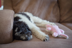 make yourself comfortable (severalsnakes) Tags: kansas kansascity pentax promaster5017 saraspaedy k1 poodle puppy standardpoodle animal dog manual manualfocus pet