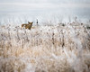 Subdued Hunter (droy0521) Tags: wildlife winter coyote mammal colorado outdoors prairie frost snow places animal