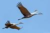 Sandhill Cranes (dpsager) Tags: bird birds bosquedelapache bosquedelapachenationalwildliferefuge crane dpsagerphotograph newmexico sandhillcrane socorrocounty