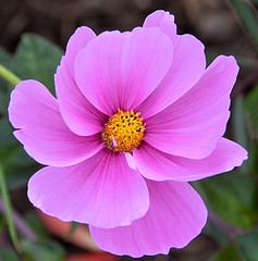 Pink Cosmos (Pat's Pics36) Tags: nikond7000 nikkor18to200mmvrlens usa washington semiahmoo packersresort cosmos pink