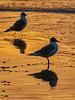 a pair of shadows.. (f_glasinovic) Tags: gaviotas puesta sol atardecer sunset gold reflexes sea seagull