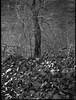 riverside, tree, sticker vines, leaves, Carrier Park, French Broad River, Asheville, North Carolina, Mamiya 645 Pro, mamiya sekor 80mm f-2.8, 12.30.17 (steve aimone) Tags: riverside tree stickers vines leaves carrierpark asheville north mamiya645pro mamiyasekor80mmf28 mamiyaprime primelens rolleirxp400 moerschecofilmdeveloper blackandwhite monochrome monochromatic landscape 120 film 120film mediumformat
