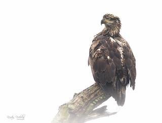 Juvenile Bald Eagle, Cannonsville Reservoir