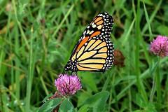 Monarch Butterfly 428 - Danaus Plexippus (Chrisser) Tags: insects insect butterflies butterfly monarch danausplexippus nature ontario canada canoneosrebelt6i canoncanonefs1855mmf3556isstmlens nymphalidae