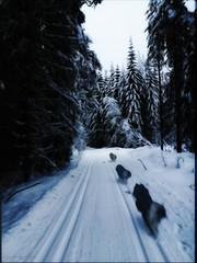 And off he went, into his Fairy tale Forest. (evakongshavn) Tags: dog dogsonadventures dogsofnorway flickrdogs walkingthedog dogsandsticks dogsthathike happydog dogphotography dogs outdoors outdoorsphotography natur nature earthnaturelife fairytale forest wald tree arbre paysage bnw bnwphoto blacknwhite blackandwhite blackwhite winter winterwonderland winterwald winterlandscape wonderlandscape wonderfulworld wonderland woodland postcardsfromtheworld exploretheworld sundaylights art artistic fineartphotography enchanted enchantedforest