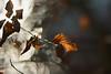 Copper leaf. Breaking through diamond light. (Gudzwi) Tags: blatt laub leaf leaves light licht hellunddunkel brightanddark hell bright dark natur nature kupfer cooper bokeh happybokehwednesday hbw 7dwf 7dwfwednesdaysmacroorcloseup macroorcloseup closeup macro makro