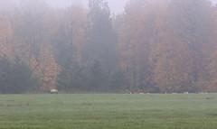 Week's Dairy Preserve (dennis_plank_nature_photography) Tags: songsparrow bird elk aves birds fall junco juncos passeriformes perchingbirds songbird songbirds