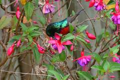 Northern double-collared sunbird (supersky77) Tags: northerndoublecollaredsunbird cinnyrisreichenowi sunbird fuchsia flower fiore samich elgeyo escarpment rift valley kenya africa