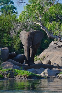 Elephant on a rocky island in Kafue River
