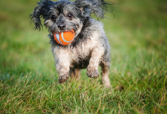 1/52 - New Year, New Project, Who Dis? (Kirstyxo) Tags: cute action fun playing ball chuckit teddy 152 52weeksfordogs 52weeksfordogs18 52weeksfordogs2018