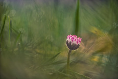 Found the first signs of spring :-) (VintageLensLover) Tags: gänsebümchen wiese feld blumen natur outdoor bokeh bokehlicious dof schärfentiefe schärfeverlauf daisies sonya7ii tokina90mm25