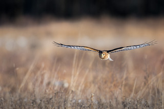 Head-on Harrier